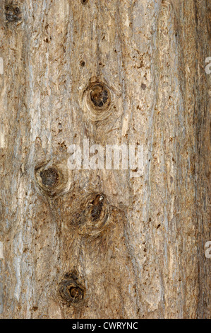 Japanese Umbrella Pine Sciadopitys verticillata (Taxodiaceae) - Stock Photo