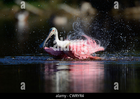 Roseate Spoonbill taking a bath at sunset - Stock Photo
