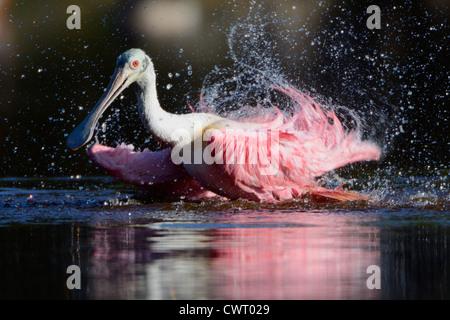 Roseate Spoonbill splashing - Stock Photo