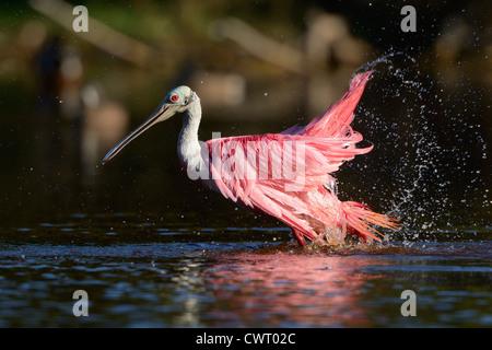 Roseate Spoonbill bathing - Stock Photo