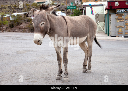 Local celebrity Duke, a wild donkey, takes a nap in the middle of Route 66 in the town of Oatman, Arizona. - Stock Photo