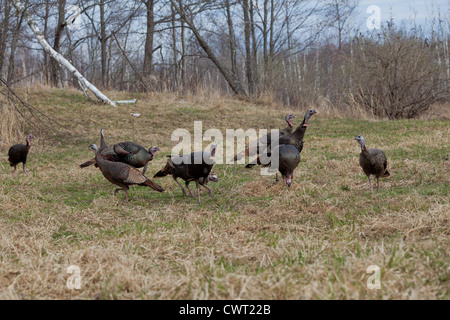 Eastern wild Turkey - Stock Photo