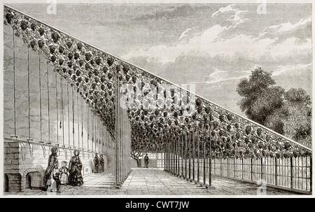 Grape pergola in Hampton Court palace garden - Stock Photo