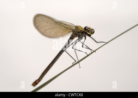 Beautiful demoiselle (Calopteryx virgo) female dragonfly on a leaf - Stock Photo