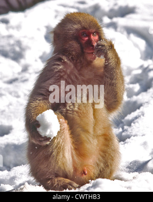 JAPANESE MACAQUE WITH A SNOWBALL - Stock Photo