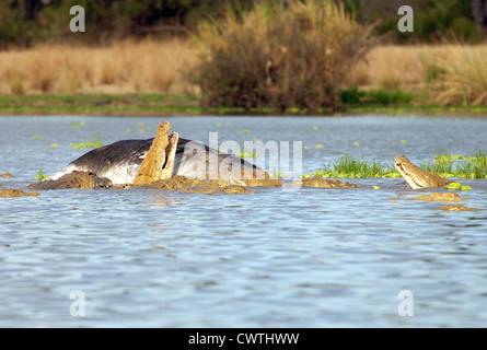 Crocodiles eating a floating dead buffalo carcass, Lake Manze, Selous Game reserve Tanzania Africa