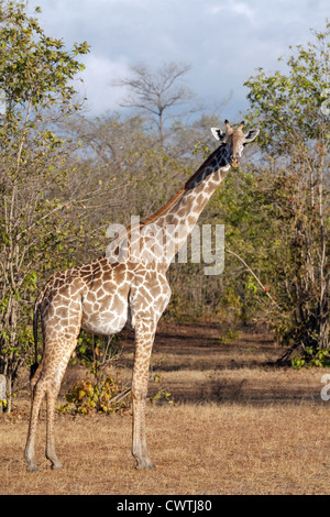 Adult male masai giraffe, Giraffa camelopardalis tippelskirchii, the Selous game reserve Tanzania Africa - Stock Photo
