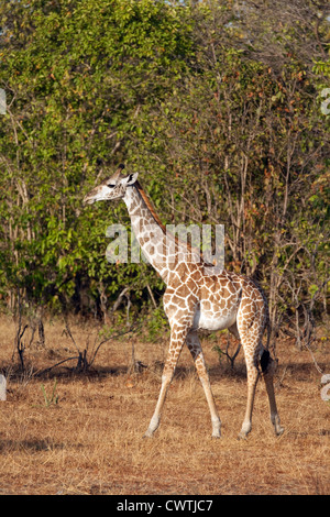 Baby Masai giraffe, (Giraffa camelopardalis tippelskirchii) The Selous Game reserve Tanzania Africa - Stock Photo