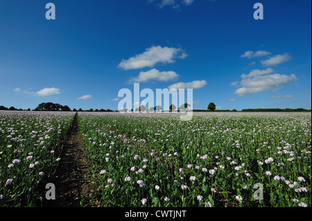 Poppies on a summers day. - Stock Photo