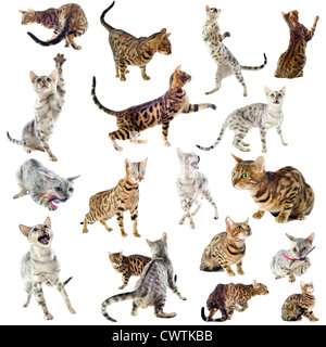 group of purebred bengal cats on a white background - Stock Photo