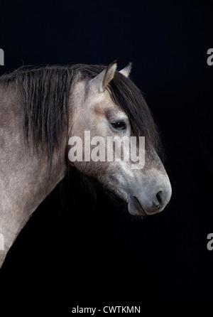 scottish pony on black background - Stock Photo