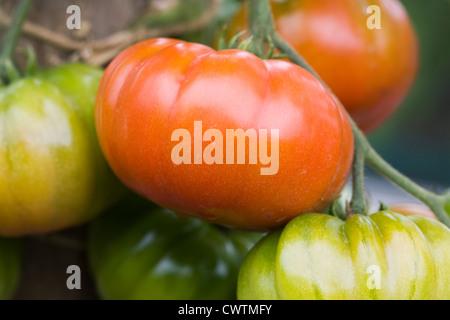 Lycopersicon esculentum. Tomato 'Belriccio' ripening on the vine. - Stock Photo