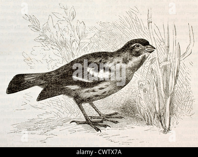 Rufous-tailed Plantcutter - Stock Photo