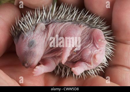 Baby hedgehog / Atelerix albiventris - Stock Photo