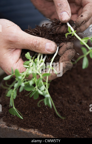 Man separating and planting peas at allotment