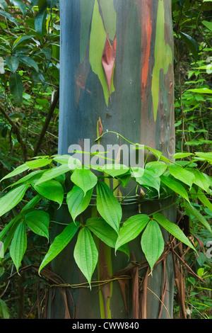 Vine grows around base of Rainbow Gum (Eucalyptus deglupta) Native eucalyptus, Tompotika Peninsula, Central Sulawesi, - Stock Photo