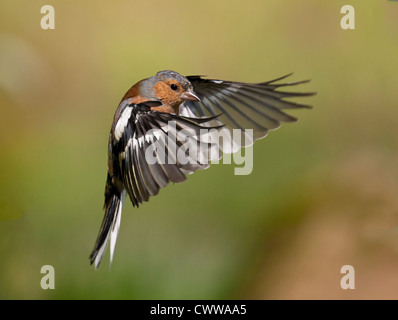 A male chaffinch captured in flight - Stock Photo