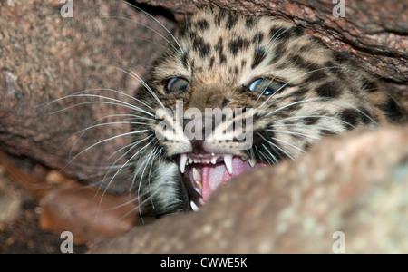Female Amur leopard cub snarling - Stock Photo