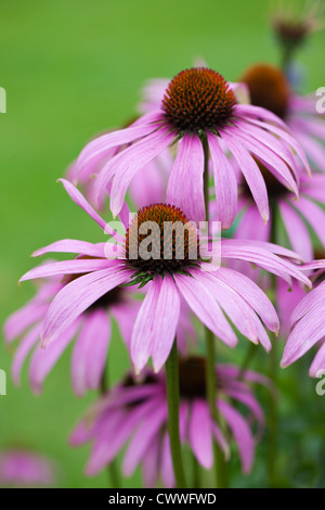 Close up purple Echinacea flowering in a garden in Wiltshire against a blurred green background - Stock Photo
