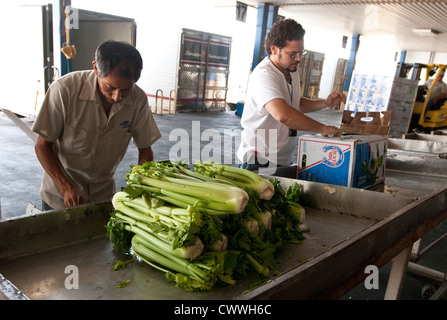 agriculture specialists for U.S Customs and Border Protection, inspect boxes of celery coming in from Mexico - Stock Photo