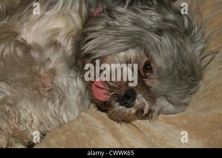 shih tzu puppy dog funny animals shihtzu dogs puppies shih tzus shihtzus - Stock Photo