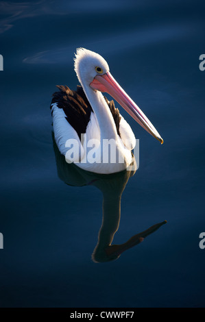 Pelican bathed in late afternoon light - Stock Photo