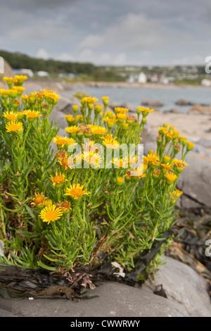 Port Eynon; Gower; Wales; Uk; Golden Samphire; Inula crithmoides - Stock Photo