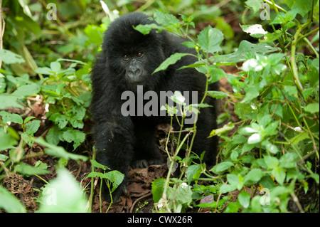 baby Mountain gorilla (Gorilla beringei beringei), Virunga National Park, DR Congo - Stock Photo