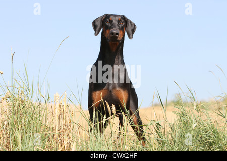 Dog Dobermann Pinscher Black and tan - Stock Photo
