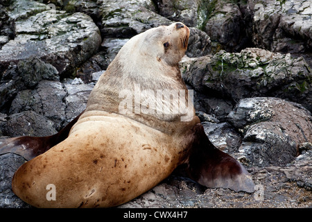 A large male Stellar Sea Lion (Eumetopias jubatus) hauled out on rocks along the coast of Alaska. - Stock Photo