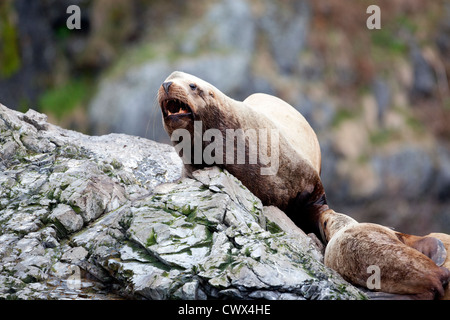 A male Stellar Sea Lion (Eumetopias jubatus) hauled out on rocks in Alaska. - Stock Photo