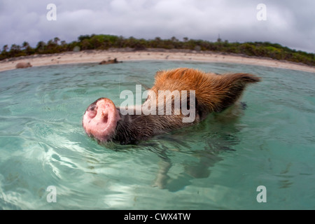 A wild pig swims up to a boat full of tourists at Staniel Cay in the Bahamas. - Stock Photo