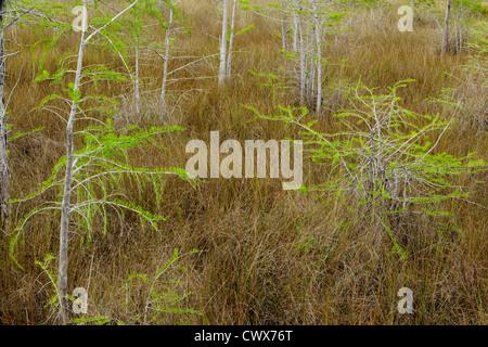 Dwarf cypress trees in spring, Big Cypress National Preserve, Florida, USA - Stock Photo