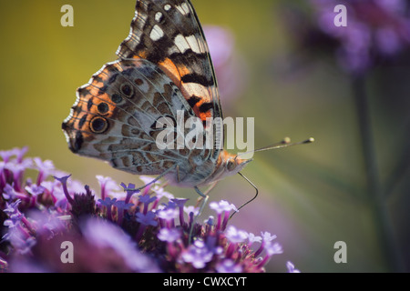 Painted Lady butterfly feeding on a purple flower - Stock Photo