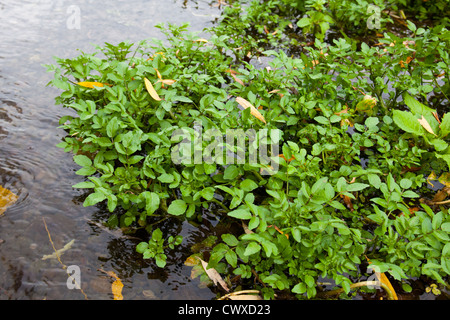 Watercress by a stream. one of nature's most nutritious vegetables. Peppery flavoured: excellent in a salad or soup. - Stock Photo