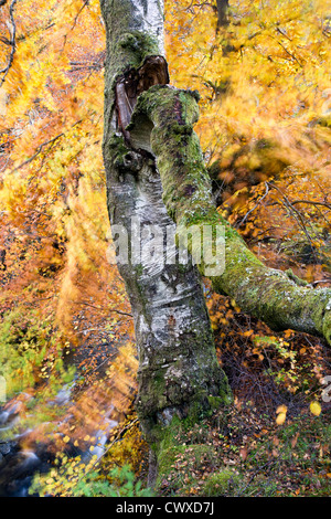 An old broken silver birch tree surrounded by autumnal beech tree leaves moving in the wind. - Stock Photo