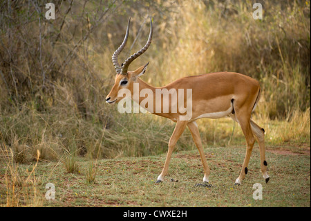 Male Impala (Aepyceros melampus), Akagera National Park, Rwanda - Stock Photo