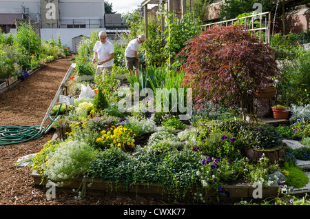 Urban garden / gardening - Working in the Community Garden in Davie Village, Vancouver, Canada in the city - Stock Photo