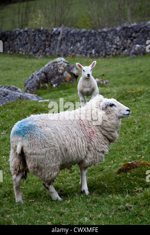 Sheep ( Ovis aries) on the Yorkshire Dales