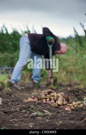 Gardener digging up King Edward and Desiree potatoes in a garden - Stock Photo
