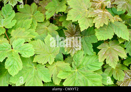 Leaves / foliage of Sycamore / Acer pseudoplatanus. Sycamore is a member of the Maple family. - Stock Photo