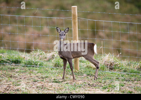 Roe Deer; Capreolus capreolus; Cornwall; UK - Stock Photo