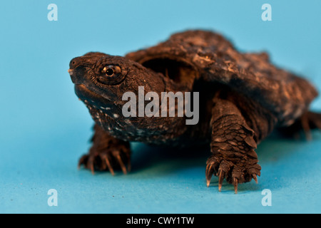 Hatchling Snapping Turtle (Chelydra serpentina) - Stock Photo