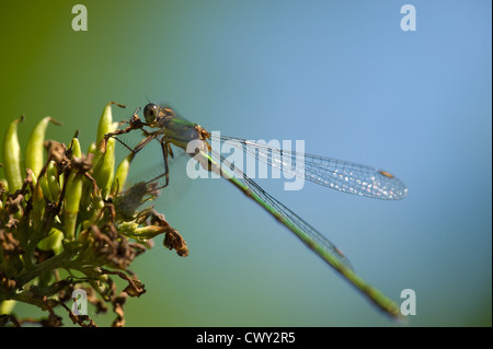 Green dragonfly on a plant with blue and green background - Stock Photo