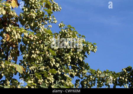 Hop growing near Faversham - Stock Photo
