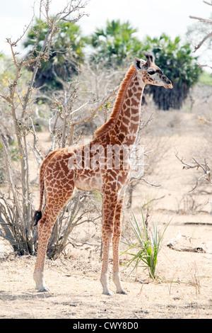 Young masai giraffe baby ( Giraffa camelopardalis tippelskirchii ), side view, Selous Game Reserve Tanzania Africa - Stock Photo