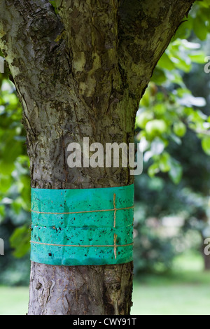 Grease band around an apple tree trunk, used to prevent wingless moths climbing the trunk of the tree. - Stock Photo