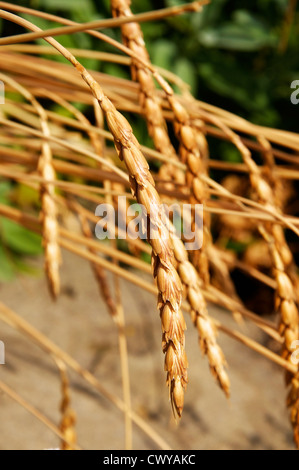 Spelt (Triticum spelta) is a traditional species of wheat that used to be very popular in the middle ages in Europe. - Stock Photo