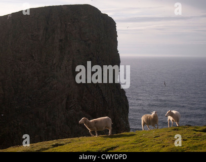 Sheep, Fair Isle, Scotland Stock Photo, Royalty Free Image ...