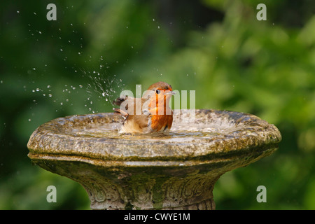 ... Robin (Erithacus Rubecula) Bathing In Bird Bath In Garden Cheshire UK  April 0448
